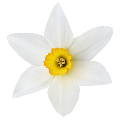 Top view narcissus flower isolated on white with clipping path