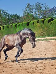 Running Andalusian stallion