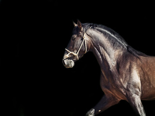 Running Andalusian stallion. isolated at black