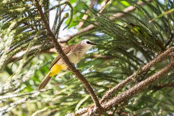Yellow-vented Bulbul bird