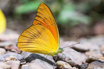 Orange Albatross butterfly