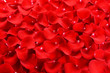 Beautiful petals of red roses close-up