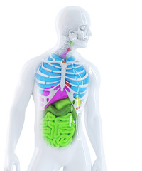 3d illustration of the human anatomy. Isolated. Clipping path