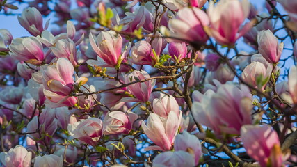 Pink Magnolia flowers swaying in the breeze