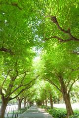 新緑の神宮外苑イチョウ並木