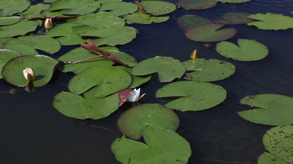 Beautiful water lily on the lake Manzherok. Altai Krai.