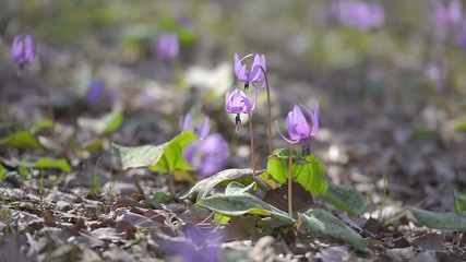 Japanese dog's tooth violet flowers,in Showa Kinen Park,Tokyo