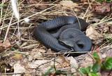 Venomous snake black forest viper. poster