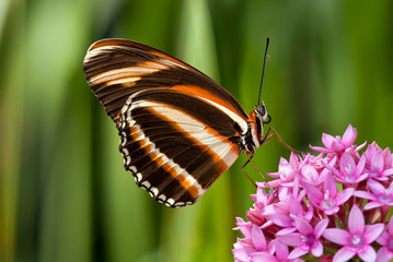 Banded Orange butterfly (Dryadula phaetusa) on pink flowers