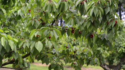 Red cherries on a tree