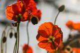 red poppies against blue sky