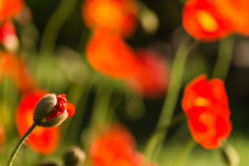 isolated poppy bud on blurred background
