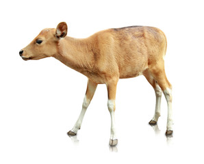 baby brown banteng isolated on white background