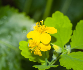 Celandine flowers closeup 2