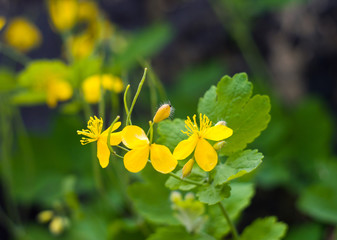 Celandine flowers closeup