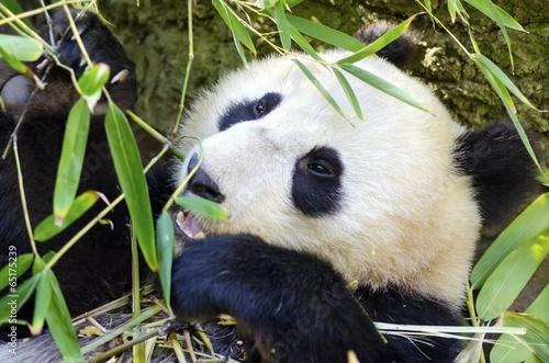 Deurstickers Panda Panda