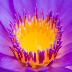 A closeup of the center of a purple lily.