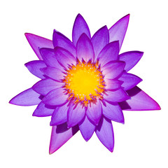 A purple lily isolated on a white background.