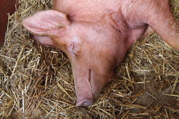 The Head and Shoulders of a Large Sleeping Pig.