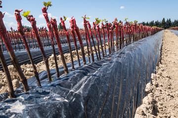 Plants de vignes