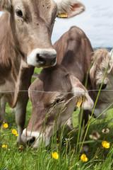 Milchkühe grasen