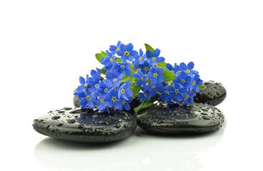 Niezapominajka na kamieniach bazaltowych
