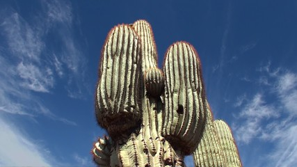 Giant Saguaro ( Carnegiea gigantea) at Papago park. Arizona,
