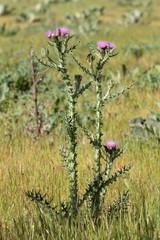 Cirsium palustre. Cardo de pantano.