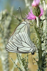 Aporia crataegi. Cópula Mariposa musgosa, Aurora.