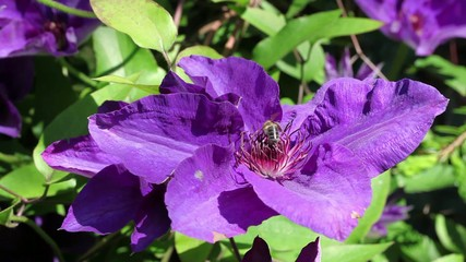 Honey bee on violet blooming clematis in the spring garden