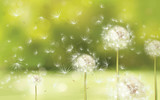 Vector spring background with white dandelions. - 65187814