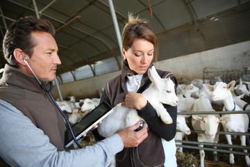 Veterinarian taking care of goat in barn