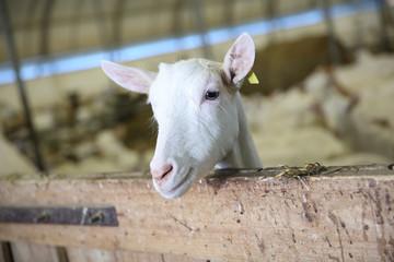 Closeup of goat inside barn