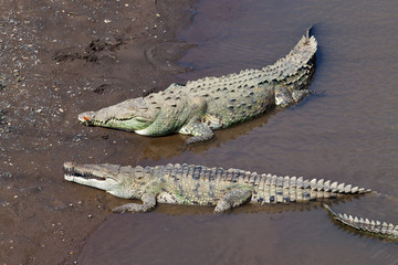 Large American Crocodiles in Costa Rica
