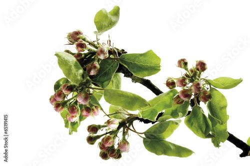 Tuinposter Olijfboom Blütenknospen von Birne (Pyrus ) , close-up