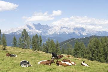 Rinder auf der Alm Ruhe