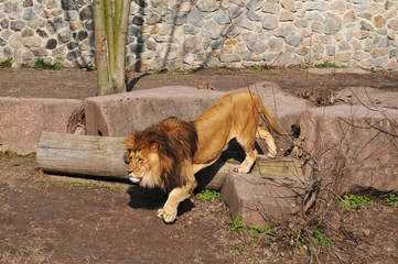 Walking lion in zoo