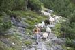 Österreich, Wanderer, mit Schafherde