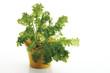 Senfkohl ( Brassica juncea ) im Blumentopf