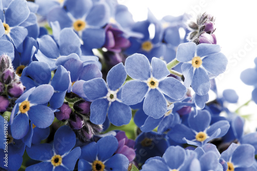 canvas print picture Vergissmeinnicht (Myosotis sylvatica)