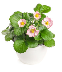 Potted strawberry pink flowers isolated on white background