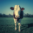 cow, special photographic processing.