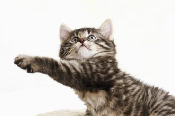 Hauskatze,Kätzchen Stretching Pfote