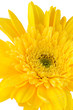 Yellow gerbera daisy flower