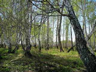 Birch copse. Spring landscape