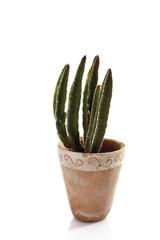 Kaktus im Blumentopf ( Cactaceae )