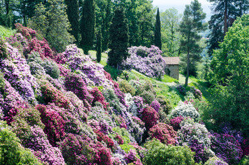 Azalea garden in italy