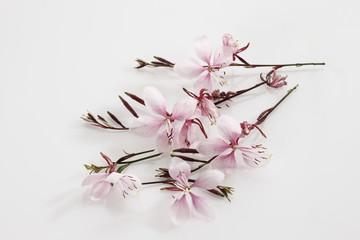 Blumen Gaura ( Gaura ),erhöhte Ansicht