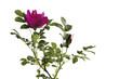 canvas print picture - Wildroseblüte (Rosa canina)