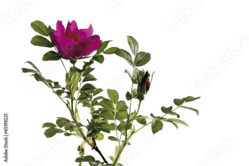 canvas print picture Wildroseblüte (Rosa canina)